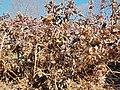 Oakleaf Hydrangea quercifolia 'Pee Wee' (2005-045-A).JPG