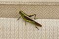 Obscure Bird Grasshopper (Schistocerca obscura) Virginia 1.jpg