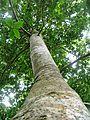 Ocotea bullata - Stinkwood tree - Cape Town 1.JPG