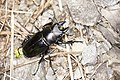 Odontolabis siva parryi (35679668740).jpg