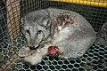 Oikeutta eläimille - Fur farming in Finland 01.jpg