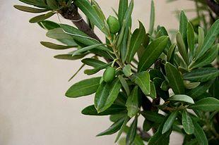 Olea-europaea-foliage.JPG