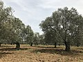 Olive groves in Gömeç.jpg