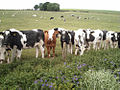One brown cow from Brawlandknowes - geograph.org.uk - 209490.jpg