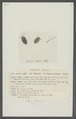 Oniscus asellus - - Print - Iconographia Zoologica - Special Collections University of Amsterdam - UBAINV0274 098 08 0048.tif