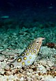 Ophichthus polyophthalmus or many-eyed snake eel taken in indo-pacific.jpg