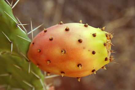 Fruit de figiuier de barbarie encore attachée au cactus