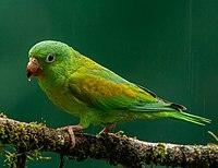 Orange-chinned Parakeet (16238697748).jpg