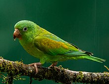 Orange-chinned Parakeet (16238697748).jpg
