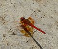 Orange-winged Dropwing Trithemis kirbyi - Flickr - gailhampshire.jpg