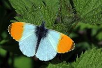Orange Tip butterfly (Anthocharis cardamines).JPG