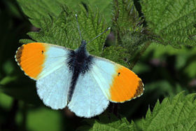 Orange Tip butterfly (Anthocharis cardamines).JPG