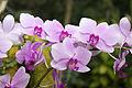 Orchideje v Troji, Cattleya hybrida, 17.jpg