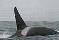 Orcinus orca NOAA Photo Library.jpg