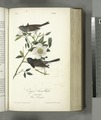 Oregon Snow-Bird. 1. Male. 2. Female. (Rosa Laevigata) (NYPL b13559627-108427).tiff