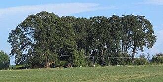 Quercus garryana - A Garry oak grove