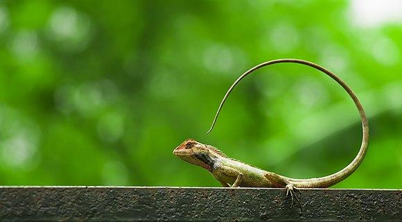 Oriental Lizard.jpg