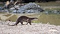 Oriental Small-clawed Otter (14839643830).jpg