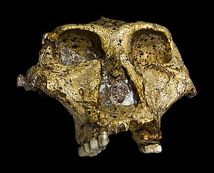 Paranthropus robustus - Original Skull of Paranthropus robustus at the Transvaal Museum