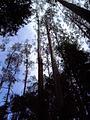 Otway Fly Tree Top Walk (927142551).jpg