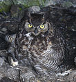 Owl ready to fledge (8542848248).jpg