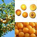 Owoce Mirabelka.jpg
