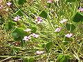 Oxalis articulata rubra0.jpg