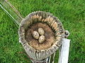 Oystercatchers Nest at Tayinloan. - geograph.org.uk - 185163.jpg