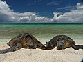 PMNM - Green Turtles on the beach (26634437944).jpg