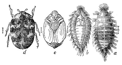 PSM V37 D350 Four stages of the carpet beetle from right to left.jpg