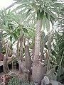 Pachypodium lamerei - Buffalo and Erie County Botanical Gardens - 1-10 - IMG 3567.JPG