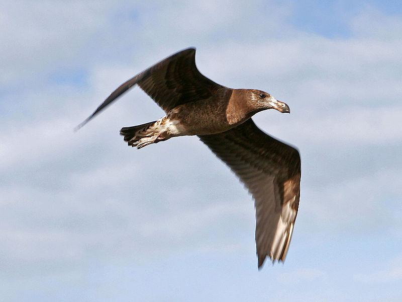 File:Pacific gull.jpg