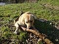 Paddy - Labrador Retriever.JPG
