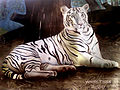 Painting of a Leucistic tiger at IGZoo park.jpg