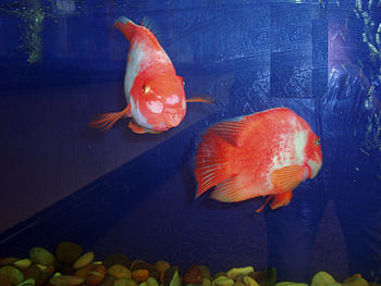 The pink oscar fishs