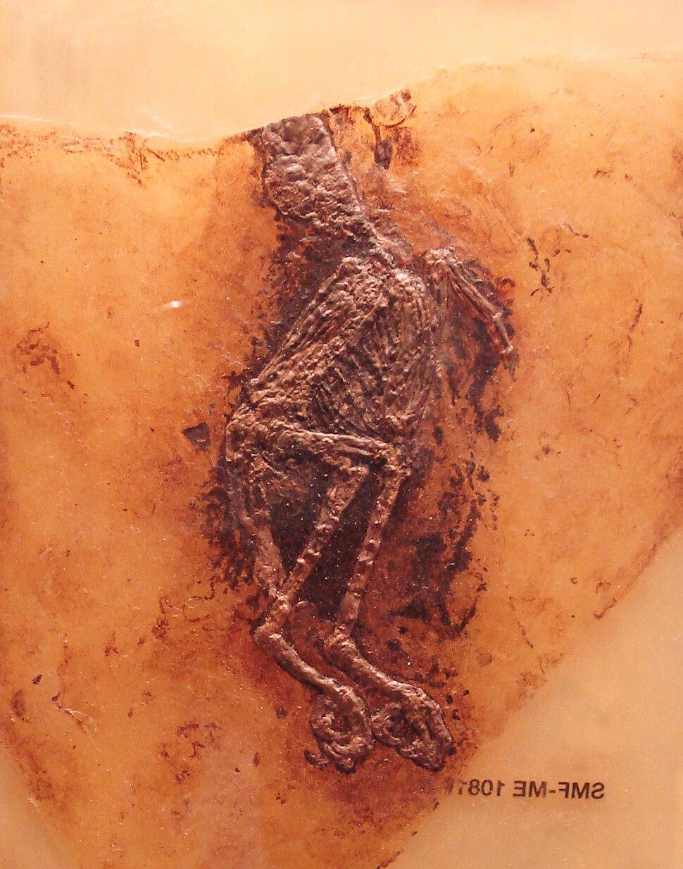Palaeoglaux artophoron