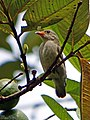 Pale billed flowerpecker (17441573782).jpg