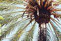 Palm (24326103885).jpg