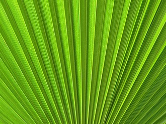 Glossary of leaf morphology - Image: Palm leaf washingtonia robusta