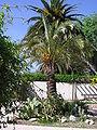 Palmier dattier 2.JPG