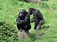 Pan troglodytes - Serengeti-Park 01.jpg
