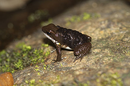 Male common rocket frog (Colostethus panamensis) carrying tadpoles on his back Panama Poison Dart Frog Colostethus panamensis with tadpoles.jpg