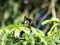 Pararge aegeria (in copula) - Speckled wood (mating) - Эгерия (спаривание) (27291310488).jpg