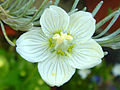 Parnassia palustris 1.JPG