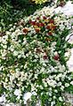 Paronychia kapela ssp serpyllifolia 3 - Pyrenees.jpg