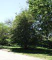 Parrotia persica 1.jpg