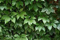 Parthenocissus-vitacea-foliage