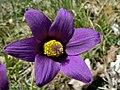 Pasque Flower (Pulsatilla vulgaris) (8338456438).jpg