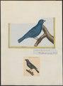 Passerina cyanea - 1700-1880 - Print - Iconographia Zoologica - Special Collections University of Amsterdam - UBA01 IZ16000239.tif