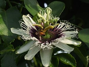 English: Passiflora 'maracuja' עברית: שעונית '...